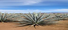 The Blue Agave from the city of Tequila